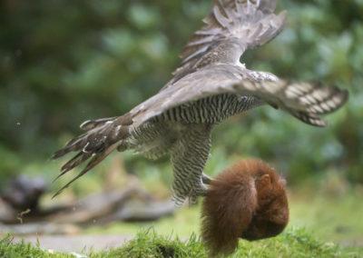 havik vliegt met eekhoorn